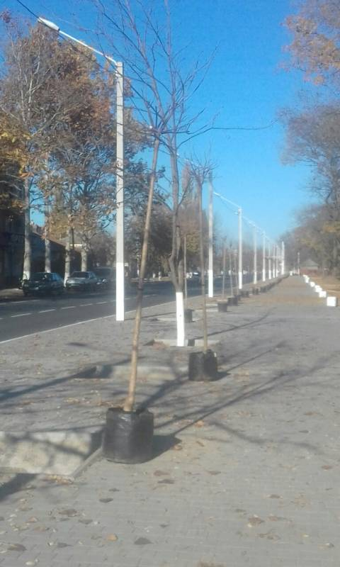 В Измаиле вдоль длинного бульвара идет высадка деревьев