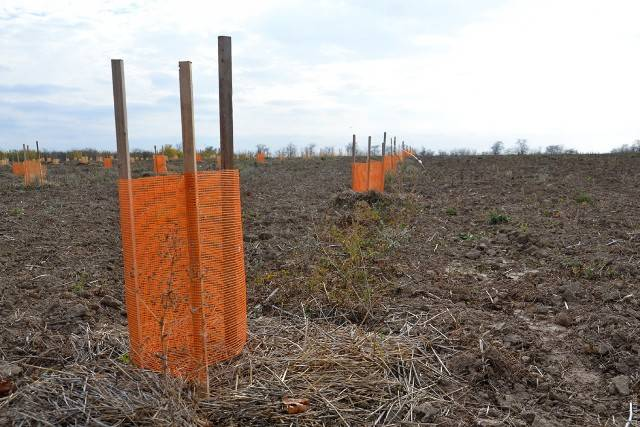 В Измаильском районе заложили первый в Украине фисташковый сад. Первый урожай орехов ожидают через пять лет (ФОТО)