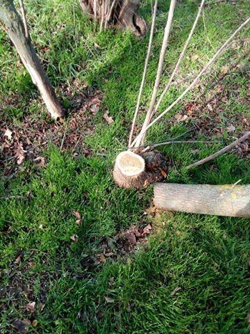 Под Измаилом местные жители массово вырубают деревья в лесополосах (ФОТО)