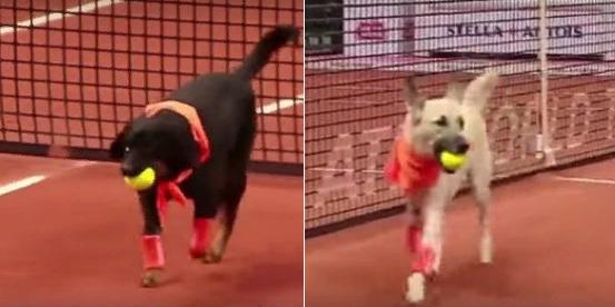"""Собак из приюта """"трудоустроили"""" на теннисном турнире: милые кадры"""