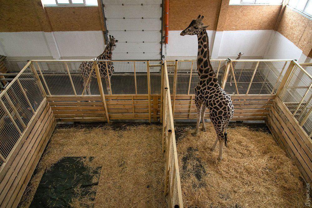 В Одессе родился редкий в Украине жирафенок Ротшильда (ФОТО)